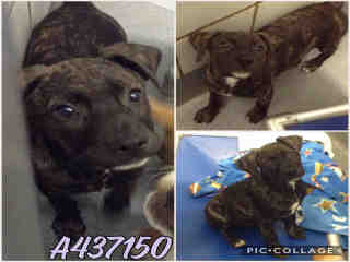 Mix-Bred LABRADOR RETRIEVER Male  Young  Puppy #A437150#  Animal Care Services (San Antonio) - click here to view larger pic