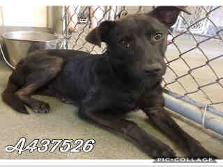 Mix-Bred SHEPHERD Female  Young  Puppy #A437526#  Animal Care Services (San Antonio) - click here to view larger pic