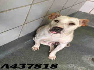 Mix-Bred TERRIER Female  Adult  Dog #A437818#  Animal Care Services (San Antonio) - click here to view larger pic