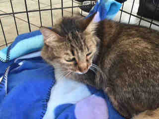 Mix-Bred DOMESTIC LONGHAIR Female  Adult  Cat #A437886#  Animal Care Services (San Antonio) - click here to view larger pic