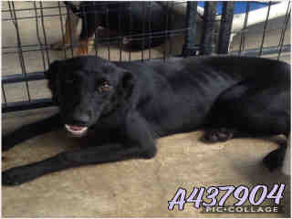 Mix-Bred SHEPHERD Female  Young  Puppy #A437904#  Animal Care Services (San Antonio) - click here to view larger pic
