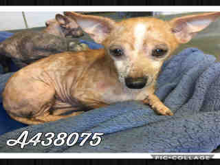 Mix-Bred CHIHUAHUA - SMOOTH COATED Male  Adult  Dog #A438075#  Animal Care Services (San Antonio) - click here to view larger pic