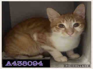 Mix-Bred DOMESTIC SHORTHAIR Male  Young  Kitten #A438094#  Animal Care Services (San Antonio) - click here to view larger pic