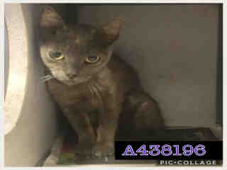 Mix-Bred DOMESTIC SHORTHAIR Female  Young  Kitten #A438196#  Animal Care Services (San Antonio) - click here to view larger pic