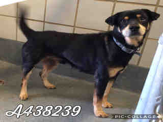 Mix-Bred ROTTWEILER Male  Adult  Dog #A438239#  Animal Care Services (San Antonio) - click here to view larger pic