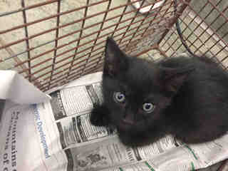 Mix-Bred DOMESTIC SHORTHAIR Male  Young  Kitten #A438257#  Animal Care Services (San Antonio) - click here to view larger pic