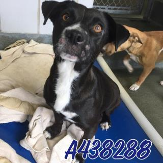 Mix-Bred LABRADOR RETRIEVER Female  Adult  Dog #A438288#  Animal Care Services (San Antonio) - click here to view larger pic