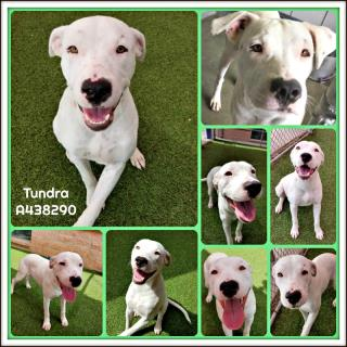 Mix-Bred LABRADOR RETRIEVER Male  Young  Puppy #A438290#  Animal Care Services (San Antonio) - click here to view larger pic