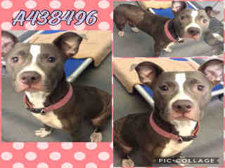Mix-Bred AMERICAN STAFFORDSHIRE TERRIER Female  Adult  Dog #A438496#  Animal Care Services (San Antonio) - click here to view larger pic