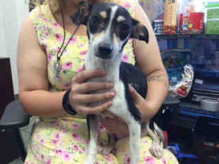 JACK (PARSON) RUSSELL TERRIER Female  Adult  Dog #A438559#  Animal Care Services (San Antonio) - click here to view larger pic