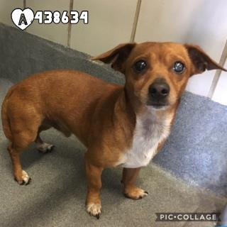 Mix-Bred CHIHUAHUA - LONG HAIRED Male  Adult  Dog #A438634#  Animal Care Services (San Antonio) - click here to view larger pic
