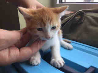 Mix-Bred DOMESTIC SHORTHAIR Female  Young  Kitten #A438663#  Animal Care Services (San Antonio) - click here to view larger pic