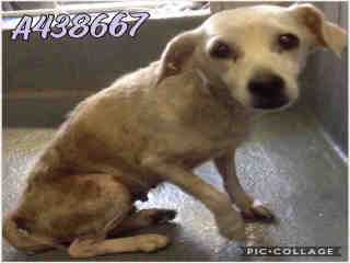 Mix-Bred TERRIER Female  Adult  Dog #A438667#  Animal Care Services (San Antonio) - click here to view larger pic