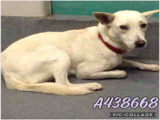 Mix-Bred SHEPHERD Male  Young  Puppy #A438668#  Animal Care Services (San Antonio) - click here to view larger pic