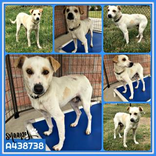 Mix-Bred RAT TERRIER Male  Adult  Dog #A438738#  Animal Care Services (San Antonio) - click here to view larger pic