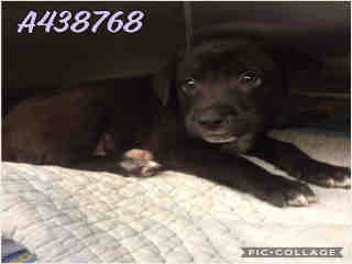 Mix-Bred LABRADOR RETRIEVER Male  Young  Puppy #A438768#  Animal Care Services (San Antonio) - click here to view larger pic