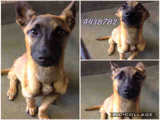 BELGIAN MALINOIS Female  Young  Puppy #A438782#  Animal Care Services (San Antonio) - click here to view larger pic