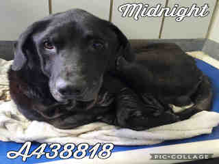 LABRADOR RETRIEVER Male  Adult  Dog #A438818#  Animal Care Services (San Antonio) - click here to view larger pic