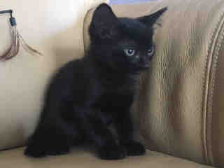 Mix-Bred DOMESTIC SHORTHAIR Female  Young  Kitten #A438826#  Animal Care Services (San Antonio) - click here to view larger pic