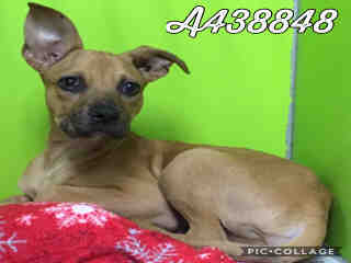 Mix-Bred BOXER Male  Young  Puppy #A438848#  Animal Care Services (San Antonio) - click here to view larger pic