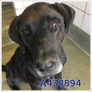Mix-Bred LABRADOR RETRIEVER Male  Adult  Dog #A438894#  Animal Care Services (San Antonio) - click here to view larger pic