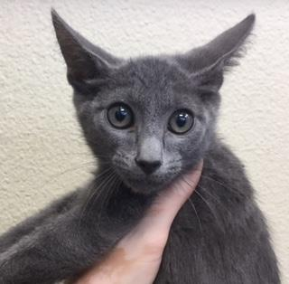 Mix-Bred DOMESTIC SHORTHAIR Male  Young  Kitten #A438953#  Animal Care Services (San Antonio) - click here to view larger pic
