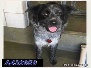 Mix-Bred AUSTRALIAN CATTLE DOG Female  Young  Puppy #A438959#  Animal Care Services (San Antonio) - click here to view larger pic