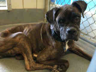 Mix-Bred BOXER Female  Adult  Dog #A438961#  Animal Care Services (San Antonio) - click here to view larger pic