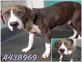 Mix-Bred AMERICAN STAFFORDSHIRE TERRIER Male  Adult  Dog #A438969#  Animal Care Services (San Antonio) - click here to view larger pic