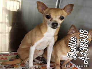 Mix-Bred CHIHUAHUA - SMOOTH COATED Female  Older  Dog #A438988#  Animal Care Services (San Antonio) - click here to view larger pic
