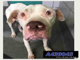 BOXER Male  Adult  Dog #A439043#  Animal Care Services (San Antonio) - click here to view larger pic