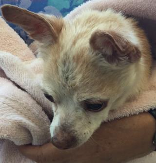 Mix-Bred CHIHUAHUA - SMOOTH COATED Male  Older  Dog #A439083#  Animal Care Services (San Antonio) - click here to view larger pic