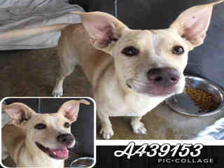 Mix-Bred LABRADOR RETRIEVER Female  Young  Puppy #A439153#  Animal Care Services (San Antonio) - click here to view larger pic