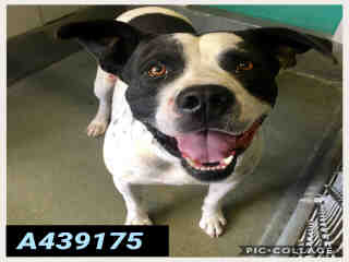 Mix-Bred PIT BULL TERRIER Male  Adult  Dog #A439175#  Animal Care Services (San Antonio) - click here to view larger pic
