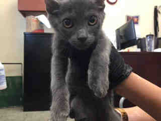 Mix-Bred DOMESTIC SHORTHAIR Male  Young  Kitten #A439217#  Animal Care Services (San Antonio) - click here to view larger pic