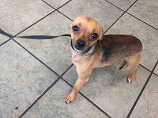 Mix-Bred CHIHUAHUA - SMOOTH COATED Male  Young  Puppy #A439224#  Animal Care Services (San Antonio) - click here to view larger pic