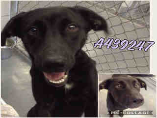 Mix-Bred LABRADOR RETRIEVER Female  Young  Puppy #A439247#  Animal Care Services (San Antonio) - click here to view larger pic