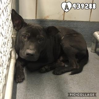 Mix-Bred LABRADOR RETRIEVER Male  Adult  Dog #A439288#  Animal Care Services (San Antonio) - click here to view larger pic