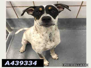 Mix-Bred AUSTRALIAN CATTLE DOG Male  Young  Puppy #A439334#  Animal Care Services (San Antonio) - click here to view larger pic