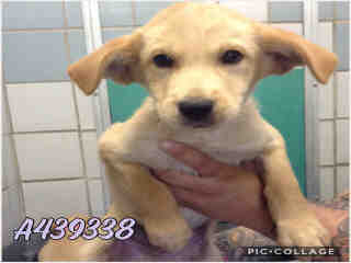Mix-Bred SHEPHERD Male  Young  Puppy #A439338#  Animal Care Services (San Antonio) - click here to view larger pic