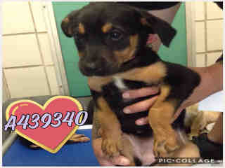 Mix-Bred SHEPHERD Female  Young  Puppy #A439340#  Animal Care Services (San Antonio) - click here to view larger pic