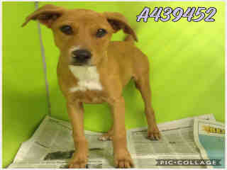 Mix-Bred TERRIER Male  Young  Puppy #A439452#  Animal Care Services (San Antonio) - click here to view larger pic