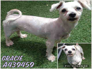Mix-Bred MALTESE Female  Older  Dog #A439459#  Animal Care Services (San Antonio) - click here to view larger pic