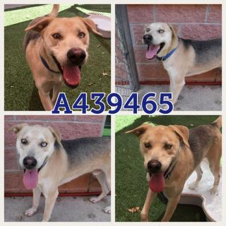 Mix-Bred GERMAN SHEPHERD DOG Male  Adult  Dog #A439465#  Animal Care Services (San Antonio) - click here to view larger pic