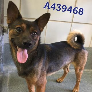 Mix-Bred CHIHUAHUA - SMOOTH COATED Male  Adult  Dog #A439468#  Animal Care Services (San Antonio) - click here to view larger pic