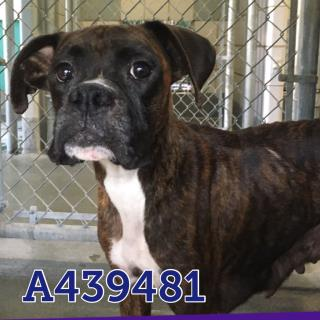 BOXER Female  Adult  Dog #A439481#  Animal Care Services (San Antonio) - click here to view larger pic