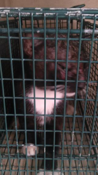 Mix-Bred DOMESTIC SHORTHAIR Adult  Cat #A439484#  Animal Care Services (San Antonio) - click here to view larger pic