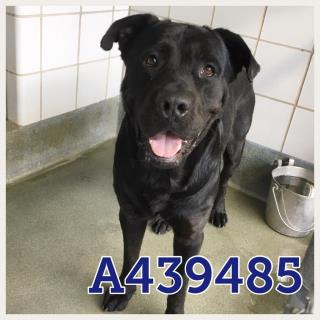 Mix-Bred LABRADOR RETRIEVER Male  Young  Puppy #A439485#  Animal Care Services (San Antonio) - click here to view larger pic