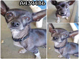 Mix-Bred CHIHUAHUA - SMOOTH COATED Female  Adult  Dog #A439486#  Animal Care Services (San Antonio) - click here to view larger pic