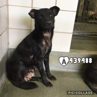 Mix-Bred LABRADOR RETRIEVER Female  Adult  Dog #A439488#  Animal Care Services (San Antonio) - click here to view larger pic